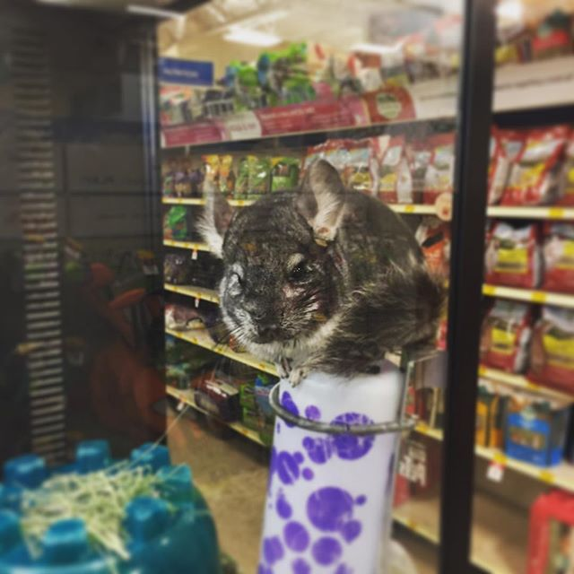 This chinchilla is not representing his brand well.